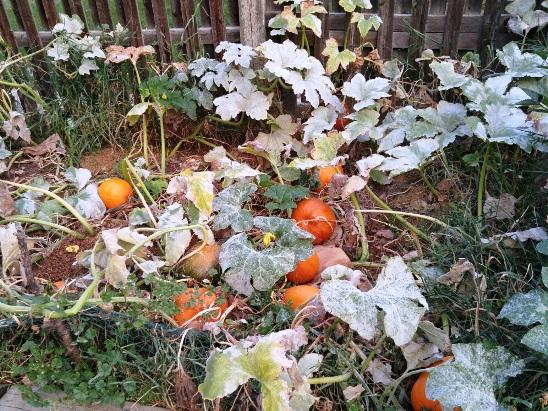 Garden Pumkins
