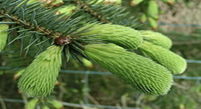 The Spruce Tip Experience